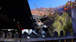 Autumn, mountain scenery, barking dog Footage
