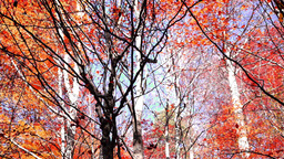 Tree crowns in autumn with falling red and copper-coloured leaves, tilt down Footage