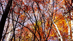 Beautiful tree crowns in autumn with falling copper-coloured leaves, tilt down Footage