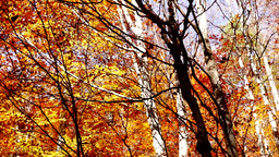 Beautiful autumn forest with falling copper-coloured leaves, tilt up Footage