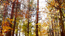 Lined trunks in autumn forest with falling copper-coloured leaves, tilt up Footage