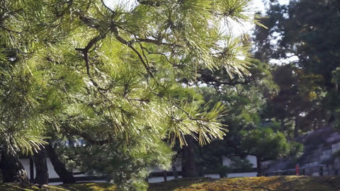 Forest And Evergreen Pine Tree Moving In The Wind stock footage