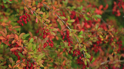Branch of a barberry with clusters of berries Footage