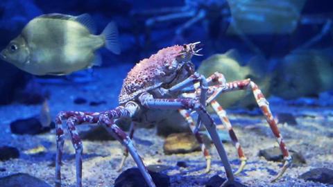 King Crab at aquarium ocean dark blue bottom Live Action