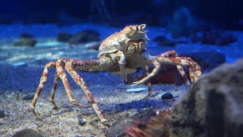 King Crab at aquarium ocean dark blue bottom Footage