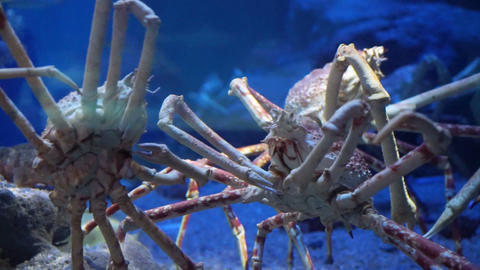 King Crab at aquarium ocean dark blue bottom fighting with each other Live Action