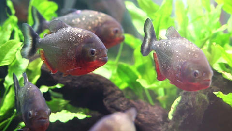 Piranha freshwater fish in South American rivers. Aggressive and love to eat mea Footage