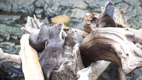 Otters playing sleeping together in natural log by the water Footage