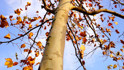 Maple tree from low angle tilt up Footage