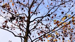 Maple tree tilt down Footage