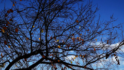 Tree with few golden leaves on blue sky Footage
