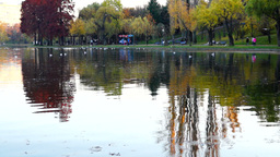 Autumn afternoon in the park.Trees with golden and red leaves, ducks, gulls Footage