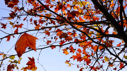 Maple Tree From Low Angle, Tripod Rotation stock footage