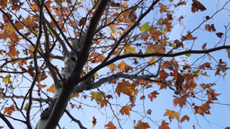 Maple tree from low angle, pan move Footage