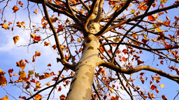 Maple tree from low angle, static shot Footage