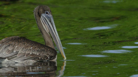 Pelican at lake of Juan Venado Island Nature Reserve Live Action
