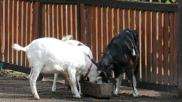 Goats on the farm. Farm animals Footage