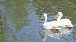 Great white pelicans. Pelecanus onocrotalus Footage
