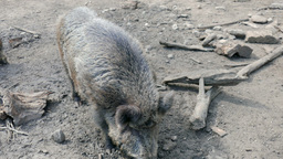 The wild boar (Sus scrofa) attack cameraman at zoo Footage