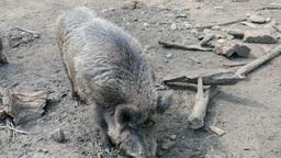 The wild boar (Sus scrofa) attack cameraman at zoo Footage