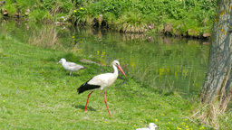 Stork, gulls and ostrich on a meadow Footage