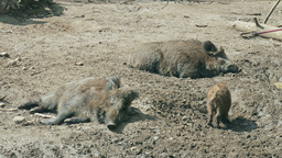 The wild boars (Sus scrofa) resting Footage