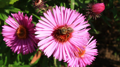 bee on the asters Footage