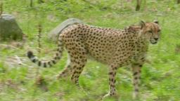 Cheetah behind glass at zoo. Acinonyx jubatus Footage