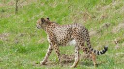 Cheetah. Acinonyx Jubatus stock footage