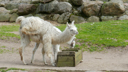 The llama (lama glama) 04 Live Action