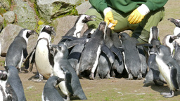 The African penguin (Spheniscus demersus) feeding time at zoo Live Action