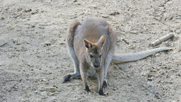 The red-necked wallaby. Bennett's wallaby. Macropus rufogriseus Live Action