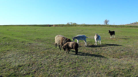 sheep and goats graze on the grass Footage