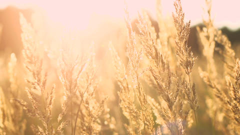 Field Of Feather Grass At Sunset stock footage
