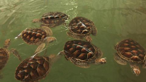 Sea Turtles Farm stock footage