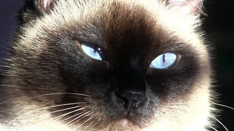 Siamese Cat Closeup Footage
