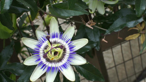 Passion Fruit Flower Handheld stock footage
