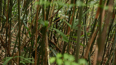 Watching black bird in an overgrowth of bamboo Stock Video Footage