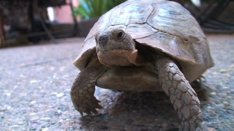 Wild turtle under table Footage