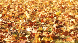 Carpet Of Yellow Leaves Follow Focus stock footage