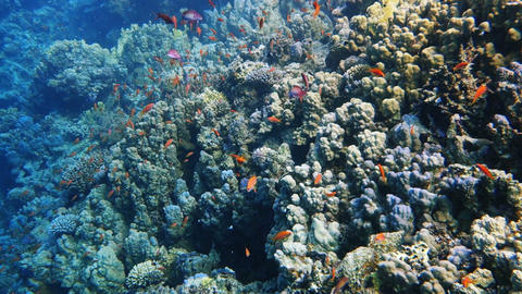 Colorful Fish and corals On Reef in red sea Footage