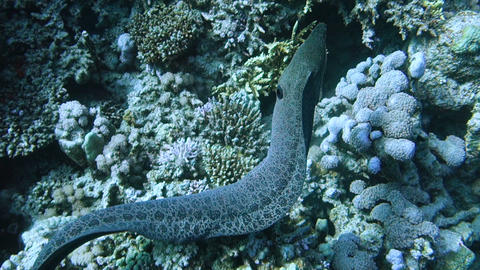 Slowmotion of Giant moray eel explores its territory Footage