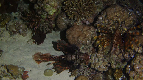 hunting lionfish at night Footage