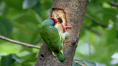 Footage - Coppersmith Barbet Bird nests Footage
