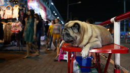 Pug dog lie on red table, night market street people passing blurred background Footage