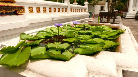 Tiny pond with light violet water lily, Nymphaea nouchali, close view Live Action