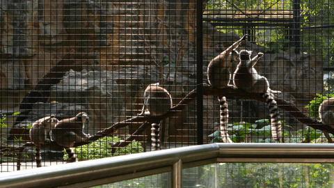 Lemurs In Hong Kong Zoological And Botanical Gardens stock footage