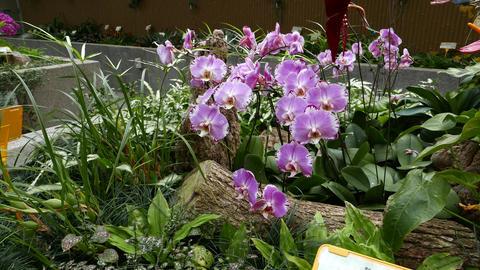 Light violet orchid flowers in botanic garden Footage
