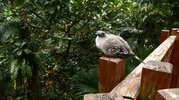 Dove with a tuft sitting on the handrails Footage