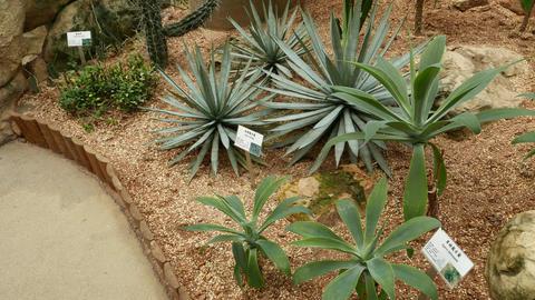 Agave striata plant close view, camera move around, greenhouse Footage